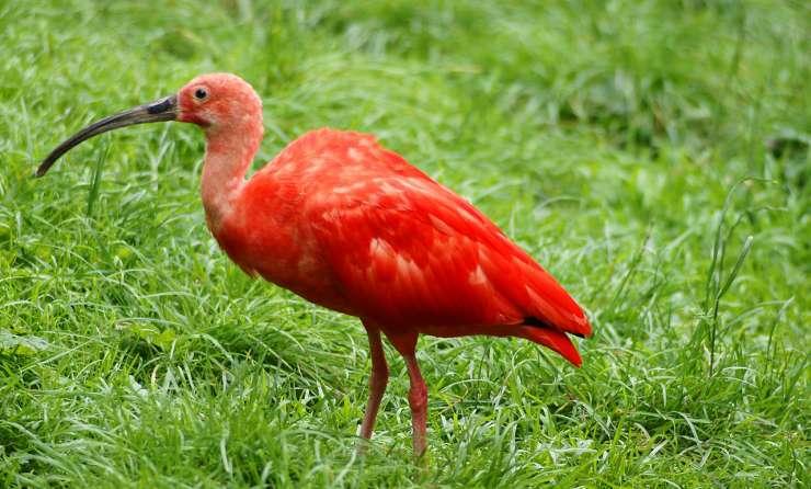 ibis červený