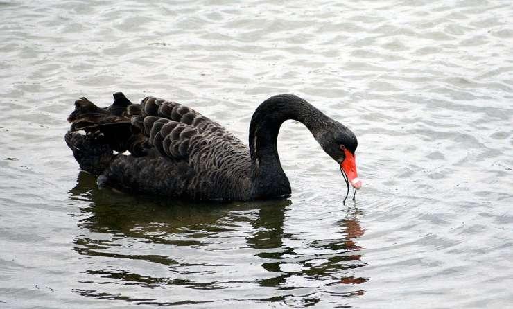 labuť čierna