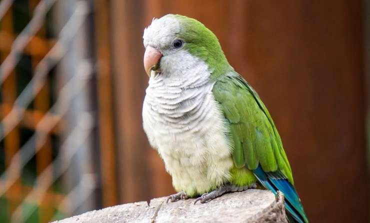 papagáj mníší